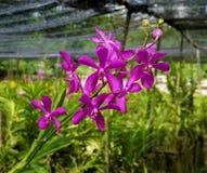 Violetta orkidér i trädgård royaltyfri bild
