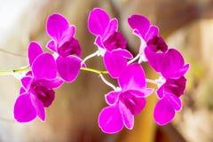 Violetta orkidér, orkidélilor, orkidér är färgrika av naturen Royaltyfria Foton
