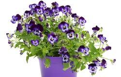 Violetta pansies Royaltyfri Foto