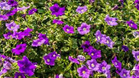 Violetta petuniablommor Arkivbild
