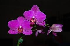 Violetta philaenopsisblommor Arkivbild