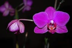 Violetta philaenopsisblommor Royaltyfri Fotografi