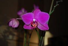 Violetta philaenopsisblommor Arkivfoto