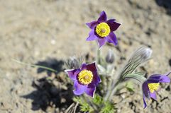 Violetta pulsatillapatens i vårsol arkivfoton