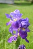 Violetta purpurfärgade irisblommor Royaltyfri Foto