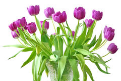 violetta tulpan Royaltyfria Bilder