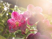 Violetta vanda med mjukt ljus Royaltyfri Foto
