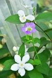 Violetta vita blommor för ang med vit förtjänar arkivbild