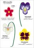 violette ilustracji