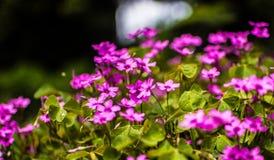 violette Obraz Royalty Free