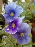 violette Fotografia Royalty Free