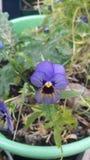 violette Immagini Stock Libere da Diritti