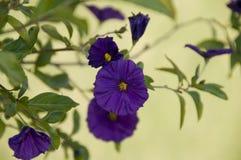 Violette africaine Image libre de droits