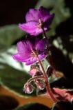 Violette africaine Photographie stock libre de droits