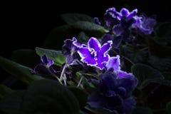 Violette africaine dans l'obscurité Photographie stock libre de droits