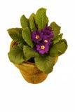 Violette africaine pourprée Photographie stock libre de droits