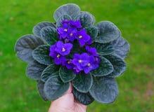 Violette africaine pourpre dans un pot de fleurs sur un fond d'herbe verte photo libre de droits