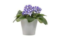 Violette africaine pourpre et blanche d'isolement sur le fond blanc Photos stock