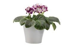 Violette africaine rouge et blanche d'isolement sur le fond blanc Photographie stock libre de droits