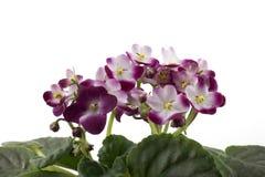 Violette africaine rouge et blanche d'isolement sur le fond blanc Images libres de droits