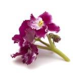 Violette africaine rouge foncé et blanche Image stock