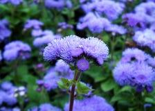 Violette ageratumbloemen stock foto