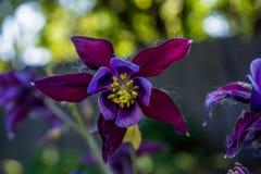 Violette aquilegia Blume, die im Garten blüht Lizenzfreie Stockfotos