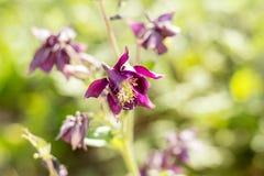 Violette aquilegiabloemen op het zonnige weer stock afbeeldingen