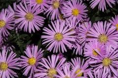 Violette Asterblumennahaufnahme mögen fon Stockfotografie