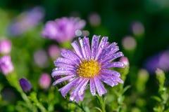 Violette Asterknospe bedeckt mit Tropfen Stockfoto