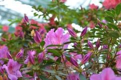 Violette Azaleen im Wintergarten Stockbild