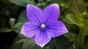 Violette ballonbloem Royalty-vrije Stock Afbeeldingen