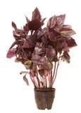 violette basilic de centrale Photographie stock