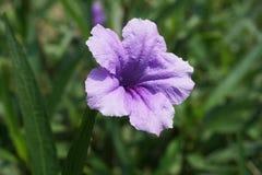 Violette blühende Blume Lizenzfreie Stockbilder