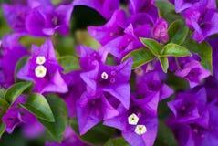 Violette Blüte Lizenzfreies Stockfoto