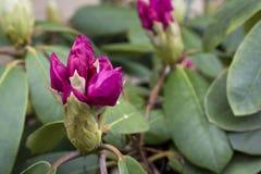 Violette Blüte Stockfotos