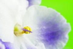 Violette Blüte, blühen die blauen und weißen Farben, Makrobild, Naturhintergrund Lizenzfreie Stockfotografie