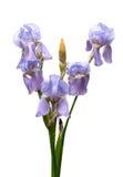 Violette Blenden Lizenzfreie Stockfotos
