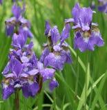 Violette Blenden im Park Stockfoto