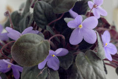 Violette bleue dans un pot Beaucoup de couleurs Images libres de droits