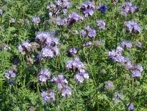 Violette bloeiende bloemen op gebied, Litouwen Stock Foto