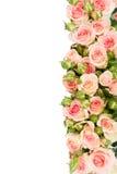 Violette bloeiende rozen Stock Foto's