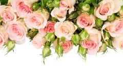 Violette bloeiende rozen Royalty-vrije Stock Afbeeldingen