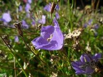 Violette bloem Royalty-vrije Stock Foto's