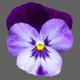 Violette bloem royalty-vrije stock afbeelding