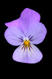 Violette bloem Royalty-vrije Stock Fotografie