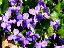 Violette bloem in aard Royalty-vrije Stock Foto's