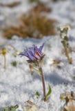 Violette bloem die door de sneeuw wordt behandeld Stock Foto's