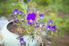 Violette bloem in een pot Plattelandsachtergrond Stock Foto's