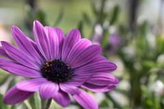 Violette bloem en aardige achtergrond Stock Afbeelding